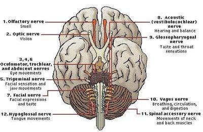 Cranial Nerves – JACOB'S LADDER